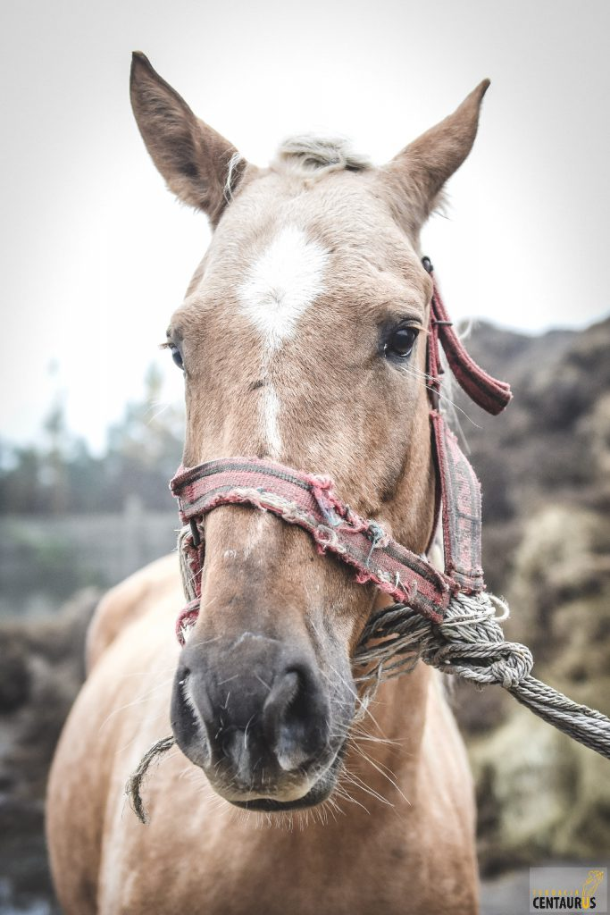 koń ajka